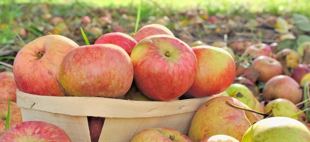 摘み取られた林檎